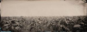 Freeman Vines field of tobacco